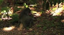 Baboons Feeding In The Forest Of Lake Manyara NP