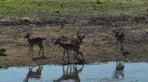Impala Drinking From A River In Tarangire NP