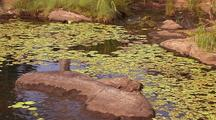 Water Lily Pads Carpet Pond Surface Among Rocks In Tranquil Kimberley Water Pool