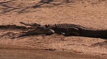 Saltwater Crocodile On Beach