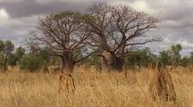 Termite Mound & Bottletree in Landscape, Kimberly