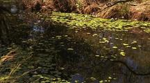 Water Lily Pads and Flowers in Kimberley Water Hole