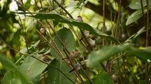 Tropical Finches