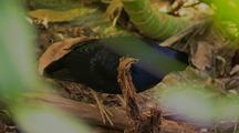 Satin Bowerbird, Male