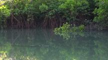 Freshwater Crocodile Among Mangroves