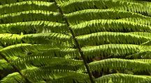 Tree Fern in Rainforest