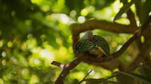 Superb or Rose-crowned Fruit Dove