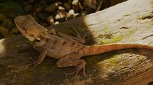 Angle Headed Dragon Lizard