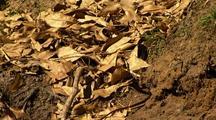 Keelback Or Black Whip Snake Slithers Through Leaves On Stream Bank