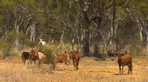 Cattle In Drought, North Queensland