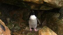 Rockhopper penguins with yellow feathers on Head
