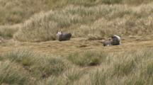 Juvenile Wandering Albatross Resting In Grass