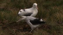Wandering Albatross Courting & Nesting Behaviour