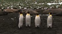 King Penguins In Front Of Sleeping Elephant Seals