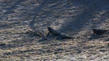 Loggerhead Turtle Hatchlings scurry across sand to reach the sea