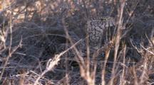 Perentie Goanna Lizard stalking through savannah grass