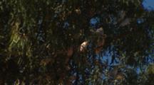 Corellas in Gum Tree