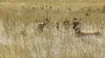 Pronghorn Antelope In Dry Grass Field