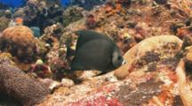 Gray Angelfish Swimming Over A Colorful Coral Reef