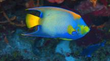 Queen Angelfish Swimming Around A Coral Reef