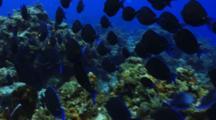 School Of Blue Tang Fish