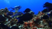 School Of Blue Tang Fish With Scuba Diver