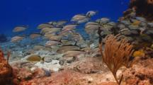 School Of Cottonwick Grunt Fish Swimming Around Coral Reef