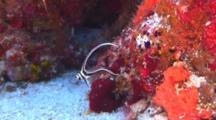 Spotted Drum Fish Juvenile
