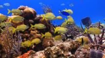 School Of French Grunt On A Coral Reef