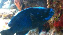 Midnight Parrotfish Eating From A Coral Reef
