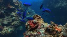 School Of Creole Wrasse Over A Coral Reef