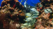 School Of Fish Grunt On A Colorfull Rocky Tropical Coral Reef