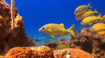 School Of Fish French Grunt On A Tropical Coral Reef