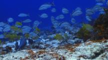 School Of Fish French Grunt And Cottonwick Over Coral Reef  Wall
