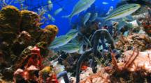 School Of  Striped Grunt Fish Over Colorful Coral Reef