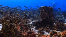 School Of Striped Grunt Over Deep Coral Reef