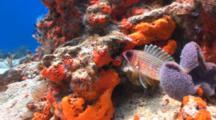 Big Eye Squirrelfish Coral Reef