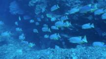 Sailfin Snapper School Swimming Passing