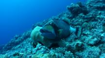 Titan Triggerfish At Cleaning Station Behavior