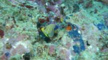 A Juvenile Regal Angelfish On Colorful Tropical Coral Reef