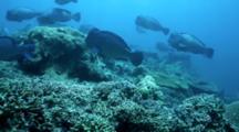 A Bumphead Parrotfish Bulbometopon Muricatum School Feeding On Coral Reef