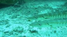 Pickhandle Barracuda Yellowtail Swimming Pass