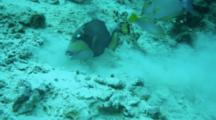 A Titan Triggerfish Balistoides Vindescens Feeding By Blowing Sand Apart