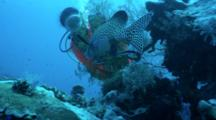 Many-Spotted Sweetlip School At Cleaning Station Malayan Wreck Watched By Diver