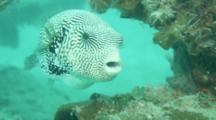 Map Pufferfish Arothron Mappa Turning Around While Feeding On Coral Reef