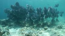 A School Of  Bumphead Parrotfish School Approaching From Distance On Hard Coral Reef