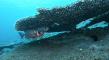 A Pair Of Bloch's Bigeye Squirrelfish Under Table Coral Hiding While A Flatworm Swimming By