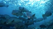 Bumphead Parrotfish School Approachng Camera Headon With Bigeye Trevally School Overhead Background  And A Diver's  Light  In Silhouette