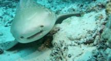 A Zebra Shark Resting On Sand Zooming To Head And Teeth Very Close