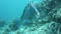 A Bumphead Parrotfish At A Cleaning Station Depart And Return From Several Cleaner Wrasse Closeup